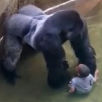 Harambe the gorilla playing with boy. Photo courtesy http://www.mirror.co.uk